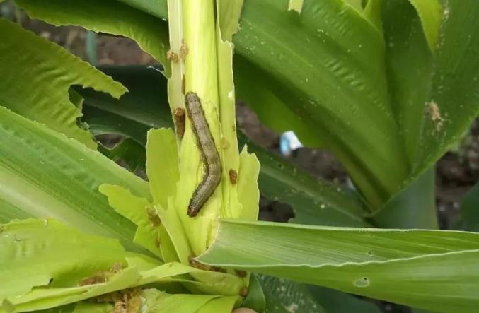 害虫吃植物