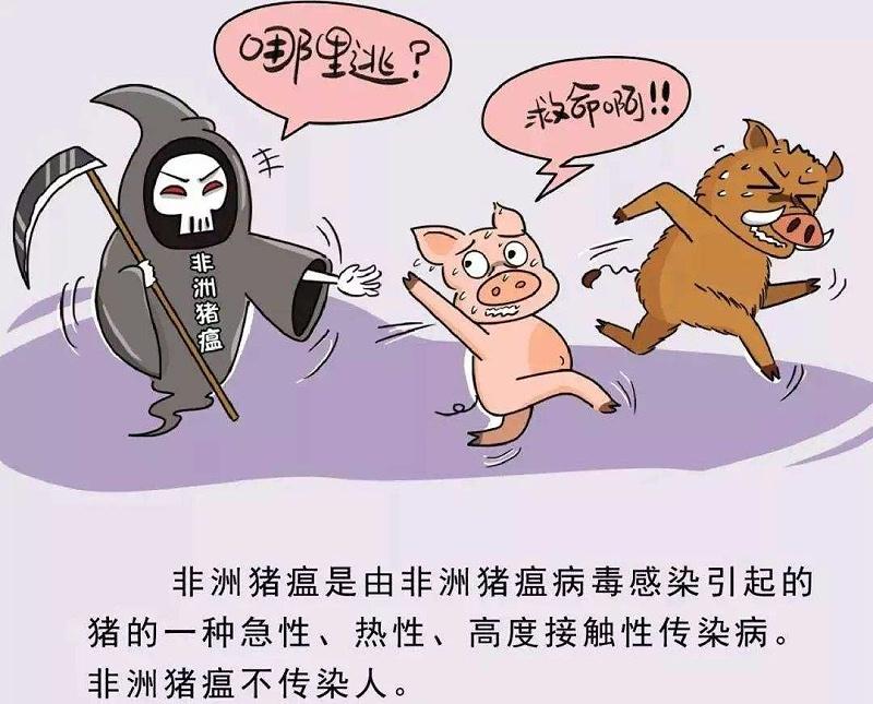 非洲猪瘟传染猪